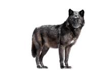 Wet Canadian Black Wolf Isolated On White Background.