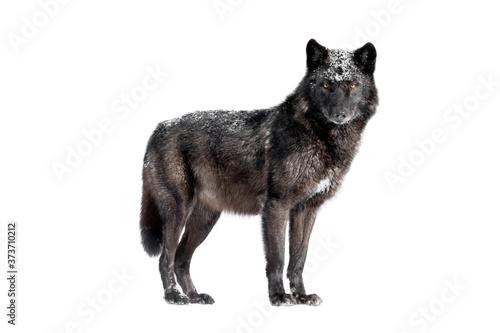 Wet canadian black wolf isolated on white background. Fototapet