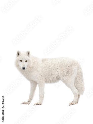 Obraz na płótnie Polar wolf isolated on a white background.
