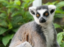 Portrait Of A Cute Ring-tailed Lemur, Lemur Catta,  At A Green Natural Background