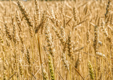 Wheat Field With Ripening Ears Of Golden Wheat At Sunny Summer Day Before Harvesting. Rural Scenery Under Shining Sunlight. Selective Focus With Shallow Depth Of Field.