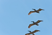 Botton View, Far Distance, Of Three Brown Pelicans, Flying Over A Tropical, Sandy, Beach, In A Blue Sky, On Gulf Of Mexico, On A Sunny Afternoon