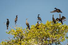 Group Of Cormorant On The Tree Near Puerto Escondido, Mexico