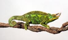 Jackson's Chameleon - Dreihornchamäleon / Jacksons Chamäleon (Trioceros Jacksonii Xantholophus)