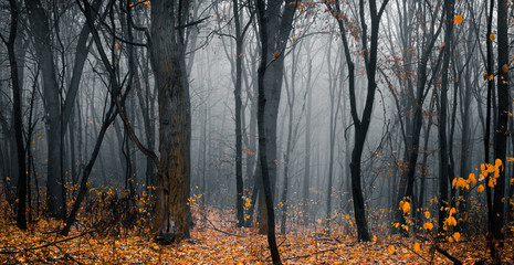 Beautiful fall forest. Footpath in the dark, fairy, foggy, autumn, mysterious forest, among high trees with yellow leaves. Panoramic wide shot.
