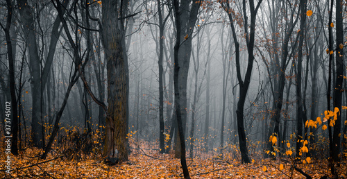 Obraz Beautiful fall forest. Footpath in the dark, fairy, foggy, autumn, mysterious forest, among high trees with yellow leaves. Panoramic wide shot. - fototapety do salonu