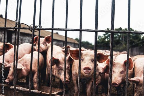 Fotografija Pig on the farm. Bad conditions, pets