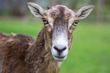Wild Mouflon Sheep, One Female Portrait Grazing On Pasture In Daylight, Green Meadow, Beautiful Brown Wild Animals