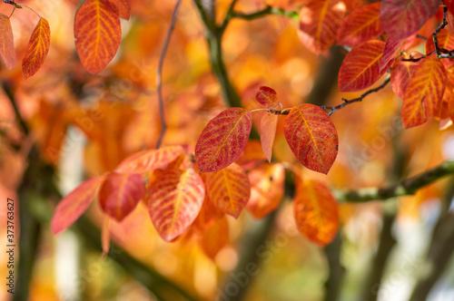 amelanchier lamarckii shadbush autumnal shrub branches full of beautiful red ora Canvas Print