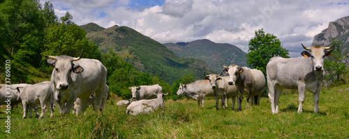 Fotografia Panoramique troupeau de vaches ariegeoises en alpage des Pyrénées, Ariège en Occ