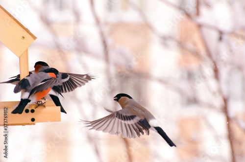 Valokuva Flying bullfinches. Bullfinches in flight.