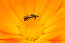 A Wild Bee Collects Nectar On A Flower.