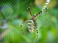 Argiope Bruennichi, A Tiger Spider With Red And Yellow Stripes On The Abdomen.