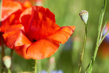 Closeup On Red Poppy Flower, Bright Blue Cornflowers On A Field Outside. Spring Natural Background.