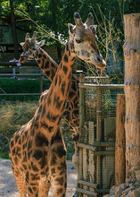Two Rothschildi Giraffe Long N...