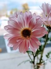 Light Pink Daisy