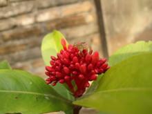 Little Spider Climbing An Ixora Flower