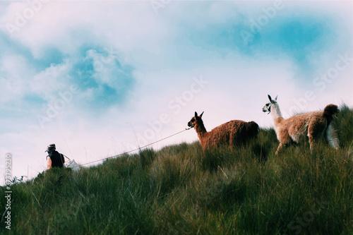 Slika na platnu Mujer llevando alpacas en el monte