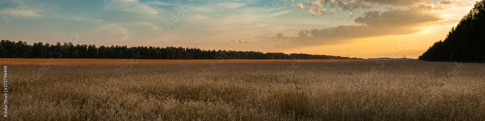 Fototapeta a panoramic view of a wide agricultural grain field in the warm light of the sunset with a forest in the background and a cloudy sky. summer evening agricultural landscape
