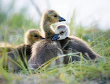 Canada Goose Goslings In The Wild