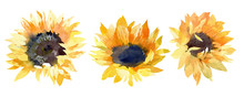 Sunflowers Buds. Hand Drawn Watercolor Illustration On White Background
