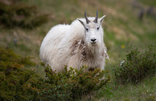 Mountain Goat In The Spring