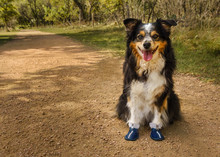 Dog Anticipating A Hike In Her New Boots
