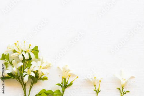 Obraz na plátne white flower jasmine local flora of asia arrangement flat lay postcard style on