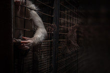 White-haired Monkey In Locked ...
