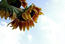 Sunflower Natural Background. ...