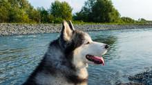 Siberian Husky Close-up, Profi...