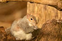 Male Grey Squirrel, Sciurus Ca...