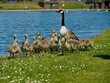 canvas print picture Canada Goslings