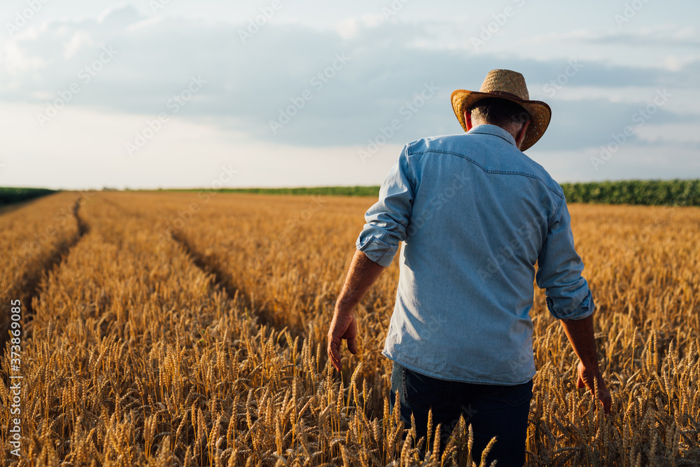 Fototapeta farmer walking trough wheat field