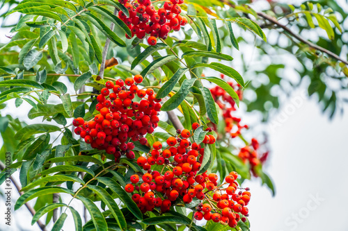Beautiful red Rowan on the green branches of trees in cloudy weather Billede på lærred