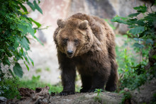 Endangered Brown Bear Walks Through Forest Clearing