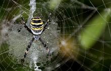 Wasp Spider (Argiope Bruennich...
