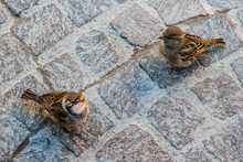 Wo Little Sparrows Bird On The Road Pavement Of Sirmione, Garda Lake, Italy