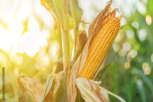 Leinwand Poster Ear of corn in the field