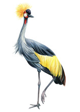Crowned Crane Bird A White Background, Watercolor Illustration