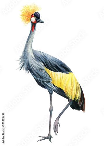 Crowned crane bird a white background, watercolor illustration Fototapet