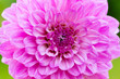 canvas print picture - big pink flower