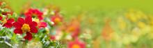 Beautiful Red Flowers In Garden -  Summer Meadow Panorama, Wellness Background, Recreation, Banner