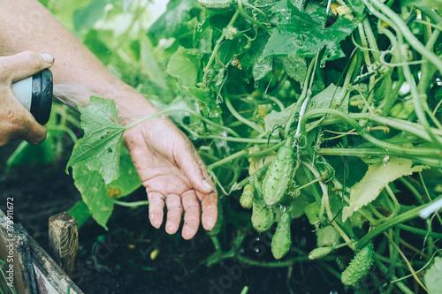 Fotografiet Elderly senior hands watering plants with hose in garden greenhouse