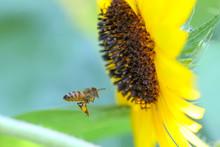 Bee In Flight In Front Of Sunflower