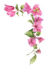 A Pink Bougainvillaea Arrangement (corner) Hand Painted In Watercolor Isolated On A White Background. Watercolor Floral Illustration. Watercolor Bougainvillea.