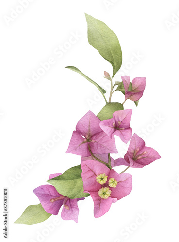 A pink bougainvillaea arrangement hand painted in watercolor isolated on a white background Fototapet