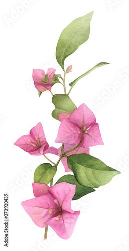 Valokuvatapetti A pink bougainvillaea branch hand painted in watercolor isolated on a white background