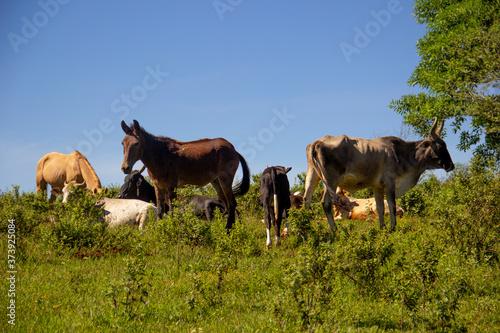 Ganado pastando en el campo vacas y caballos becerros ganadería monte rancho mex Canvas Print