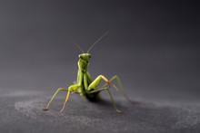 European Praying Mantis Female...